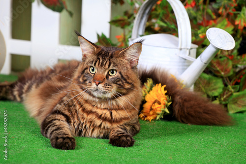 Brown Tabby Maine Coon in studio garden