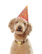 poodle wearing party hat