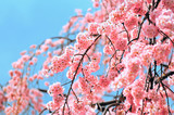 Fototapety Cherry blossom in Tokyo with blue sky in the background