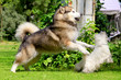 Alaskan Malamute plaiyng with westie on the meadow