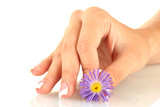 Purple chrysanthemum with woman's hand on white background