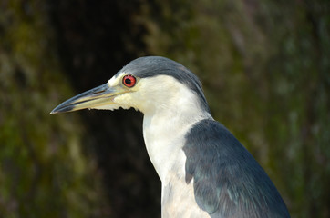 Night heron closeup view