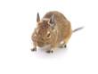 Degu Mouse on white background