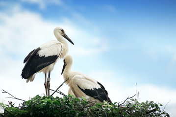 Storks in the nest on the background of the cloudy sky
