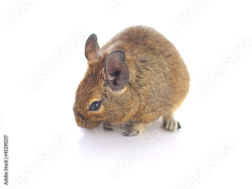 Degu Mouse on white background