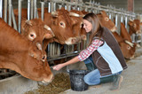 Woman feeding cows inside the barn