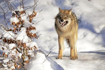 Wolf drohend Winter