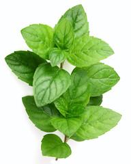 Fresh mint in closeup