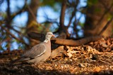 stock-dove bird