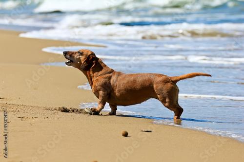 dachshund dog on the beach