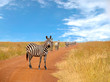Herd of curious zebras looking and standing on the road