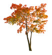red autumn maple tree isoalted on white