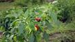 Pepper (болгарский перец)