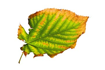Isolated Ragged Leaf