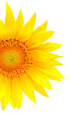 Bright yellow sunflower