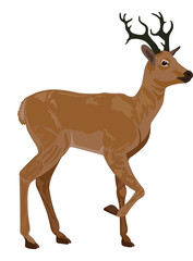 Deer, illustration