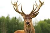 Deer close-up - Fine Art prints