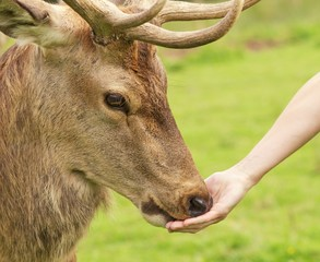 Human hand and a deer