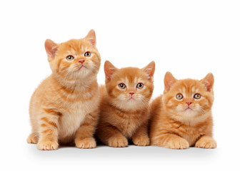 three small red british kittens on white background