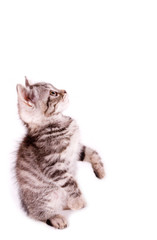 Beautiful Scottish young cat on white background