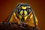Wasp detailed portrait