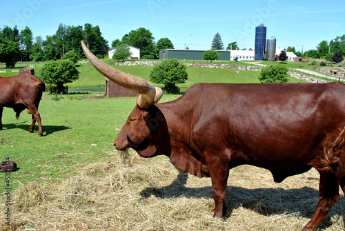 Brown Bull on a Farm