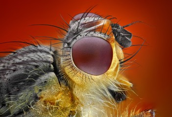 Extreme sharp and detailed study of dung fly
