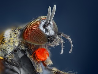 Extreme sharp and detailed study of Simuliidae fly