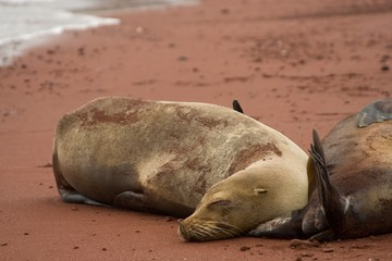 Sleeping Galapagos Sea Lion