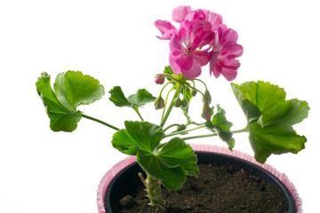 giovane pianta di geranio in vaso - talea
