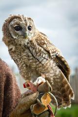 Young eagle-owl portrait