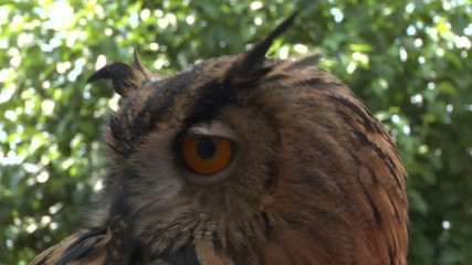 eagle owl close up 02