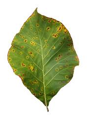 Decomposition of teak leaf