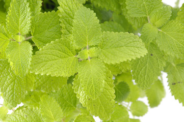 Fresh-picked mint leaves background