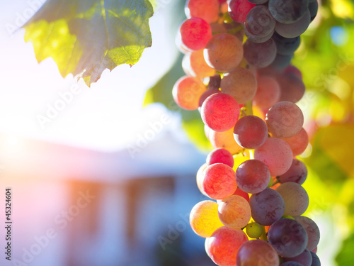 Ripe grapes on grapevine