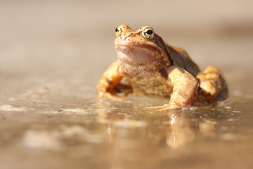 Brown frog on the ice
