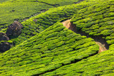 Fototapety Tea plantations
