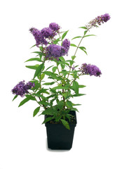Butterfly bush, Buddleja in a pot