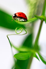 Ladybug is crawling about the green leaves