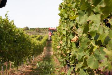 葡萄収穫の風景