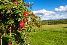 Manzano en la naturaleza