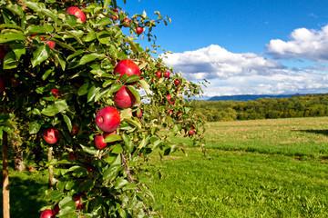 Apfelbaum in der Natur