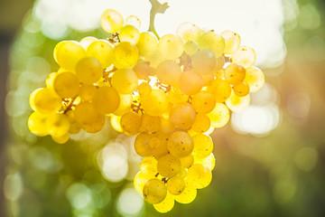 Weintrauben in der Sonne