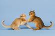 Katzen-Abessinier 0493