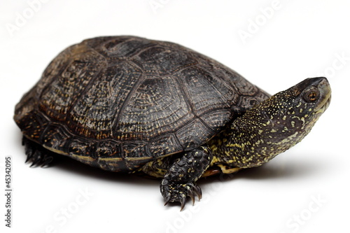 European pond turtle over white