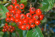 Berries of hawthorn 11
