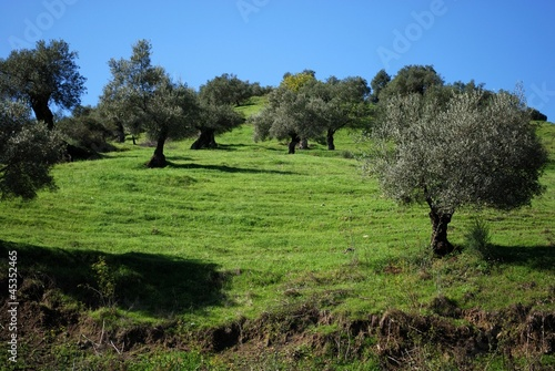 Olive trees on hillside, Guaro, Spain © Arena Photo UK
