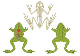 zoology, anatomy of amphibian, cross-section and skeleton poster