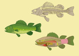 zoology, anatomy of fish , cross-section and skeleton poster