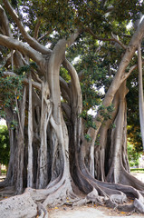 Ficus Macrophylla in the Villa Garibaldi of Palermo in Sicily